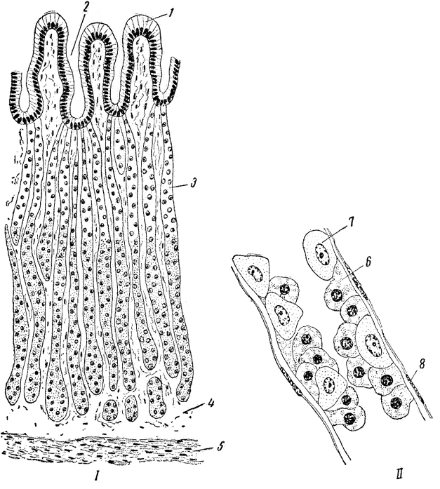 Клетки Обкладочные (Желудка) фото