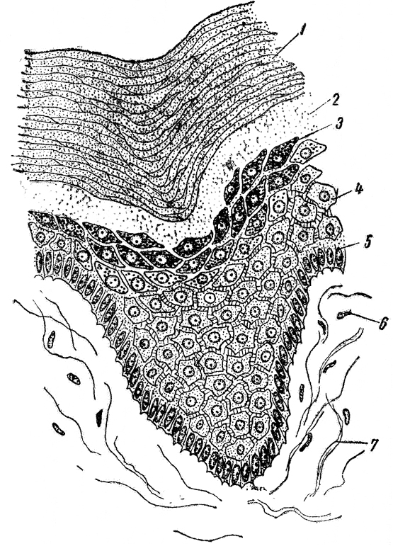 Эпителий Плоский фото